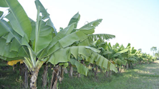 Expanding Commercial banana production in Nepal